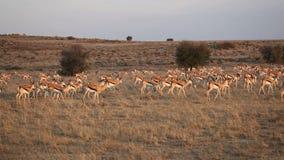 Springbok antelope herd stock video footage