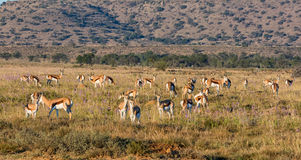 Springbok Antelope Herd Royalty Free Stock Photos
