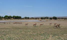 Springbok Herd. A Springbok antelope herd in Southern African savanna Stock Photo