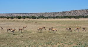 Springbok Herd Royalty Free Stock Photography