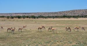Springbok Herd. A Springbok antelope herd in Southern African savanna Royalty Free Stock Photography
