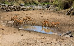 Free Springbok Antelope In Africa Savannah Drink Water From Lake Royalty Free Stock Photos - 116520378
