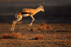 Springbok antelope jumping Stock Photo