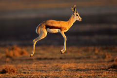 Springbok antelope jumping Royalty Free Stock Photos