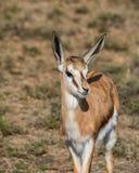 Springbok Antelope Royalty Free Stock Photography