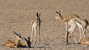Springbok antelope lambs stock video footage