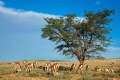 Springbok antelope landscape Stock Photography