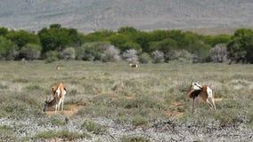 Springbok antelope landscape stock footage