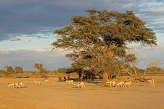 Springbok antelope landscape Stock Images