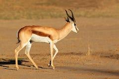 Springbok antelope. A male springbok antelope (Antidorcas marsupialis), Kalahari desert, South Africa Royalty Free Stock Images