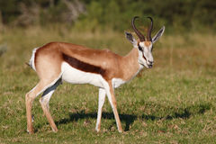 Springbok Antelope. Male springbok antelope with white face and sharp curved horns Royalty Free Stock Photo
