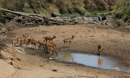 Springbok antelope near water source in Africa savannah wild nature. Springbok wild antelope deer with horn in Africa savannah nature. Safari game wild nature royalty free stock photography