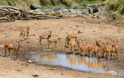 Springbok antelope near water source in Africa savannah wild nature. Springbok wild antelope deer with horn in Africa savannah nature. Safari game wild nature royalty free stock photo
