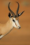 Springbok antelope portrait Royalty Free Stock Photo