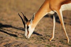 Springbok antelope portrait Royalty Free Stock Image