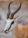 Springbok antelope. Portrait of young springbok antelope (Antidorcas marsupialis Royalty Free Stock Photography