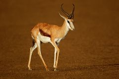 Springbok antelope after the rain. A springbok antelope Antidorcas marsupialis wet after the rain, Kalahari desert, South Africa Stock Images