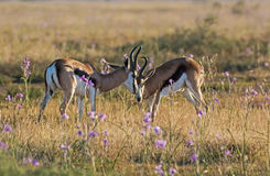 Springbok Antelope Rams. A pair of Springbok antelope rams in Southern African savanna Royalty Free Stock Images
