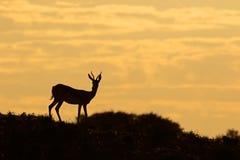 Springbok antelope silhouette Royalty Free Stock Photo