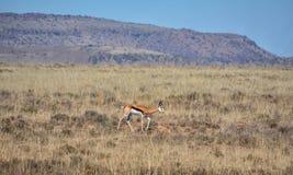 Springbok. Antelope in Southern African savanna Royalty Free Stock Image
