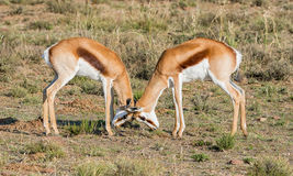 Springbok Antelope Sparring. A pair of juvenile male Springbok antelope sparring in Southern African savanna Royalty Free Stock Images