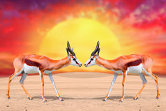 The Springbok Antelope. Stock Photos