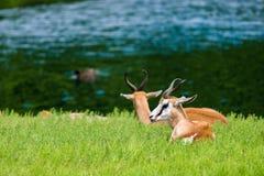 Springbok Antelope Stock Image