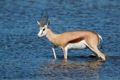 Springbok antelope walking in water Stock Images