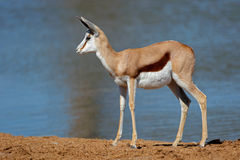 Springbok antelope at waterhole Stock Images
