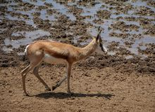 Springbok. Antelope at a watering hole  in Southern African savanna Stock Photos