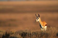 Springbok antelope Royalty Free Stock Image