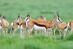 Springbok antelopes Stock Photo