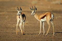 Springbok antelopes Royalty Free Stock Photos
