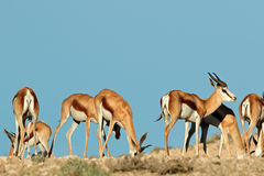 Springbok antelopes Royalty Free Stock Image