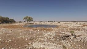 Springbok antelopes at a waterhole stock video