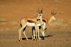Springbok antelopes Royalty Free Stock Image