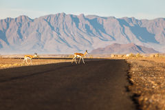 Springbok antelopes cross road in Namibian desert Stock Photography