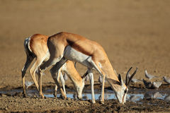 Springbok antelopes drinking Stock Image