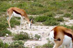 Springbok antelopes in Etosha Namibia Africa. Stock Photo