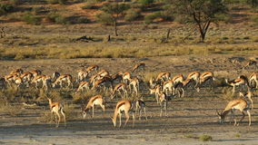 Springbok antelopes feeding stock video footage