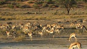 Springbok antelopes feeding stock video footage