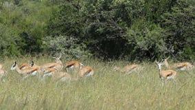 Springbok antelopes in grassland stock video footage