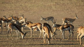 Springbok antelopes stock video