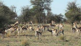 Springbok antelopes stock video footage