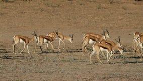 Springbok antelopes stock footage