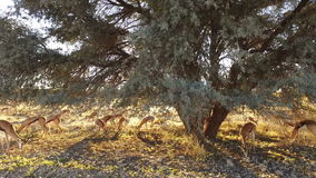 Springbok antelopes in late afternoon light stock video footage