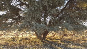 Springbok antelopes in late afternoon light stock footage