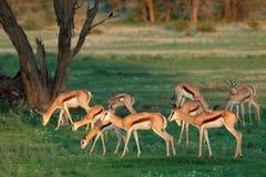 Springbok antelopes in natural habitat Stock Photos