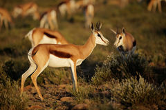 Springbok antelopes in natural habitat Royalty Free Stock Images