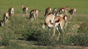 Springbok antelopes in natural habitat stock video footage